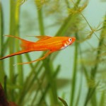 Mieczyk Hellera (Xiphophorus helleri)