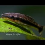 Otosek - Otocinklus przyujściowy (Otocinclus affinis)
