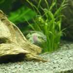 Barwniak czerwonobrzuchy (Pelvicachromis pulcher)